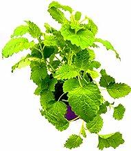 Florapartner Zitronenmelisse, Kräuter Pflanze,