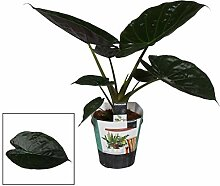 FloraStore - Alocasia Wentii - Topf 19 cm (1x),