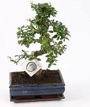 FloraStore - Bonsai Carmona S Form 25 cm (1x),
