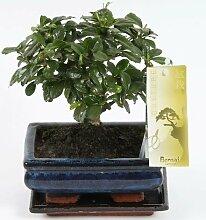 FloraStore - Bonsai Carmona sphärische 15cm (1x),