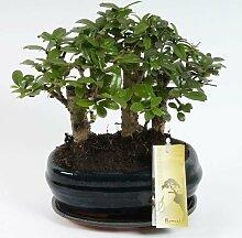 FloraStore - Bonsai Carmona Wald 21 cm (1x), Topf