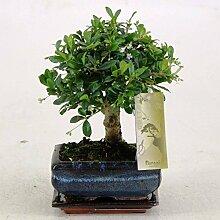 FloraStore - Bonsai Carmonapot 12 cm (1x), Topf 12