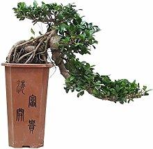FloraStore - Bonsai Ficus Cascade 80 cm (1x), Topf