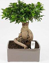 FloraStore - Bonsai Ficus ginseng 4kant in Keramik