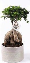 FloraStore - Bonsai Ficus Ginseng im Keramiktopf