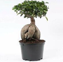 FloraStore - Bonsai Ficus Ginseng in 24