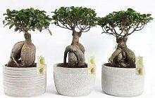 FloraStore - Bonsai Ficus Ginseng in 25cm
