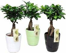 FloraStore - Bonsai Ficus Ginseng in einem