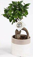 FloraStore - Bonsai Ficus Ginseng in Keramik Topf