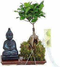 FloraStore - Bonsai Ficus Ginseng Kokedama auf