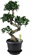 FloraStore - Bonsai Ficus Ginseng S-Form +