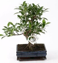 FloraStore - Bonsai Ficus S Form 25 cm (1x), Topf