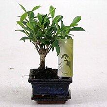 FloraStore - Bonsai Ficus Topf 12 cm (1x),