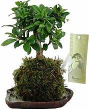 FloraStore - Bonsai Kokedama Carmona 10 cm (1x),
