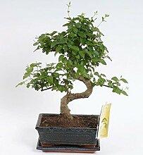 FloraStore - Bonsai Ligustrum S Form 20 cm (1x),