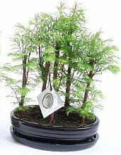 FloraStore - Bonsai Metasequoia Bossage Topf 22 cm