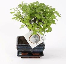 FloraStore - Bonsai Sageretia Topf 12 cm (1x),