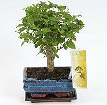 FloraStore - Bonsai Sagerietia kugelförmig 15 cm