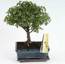 FloraStore - Bonsai Sagerietia kugelförmig 20 cm