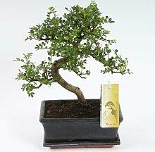 FloraStore - Bonsai Zanthoxylum S Form 20 cm (1x),