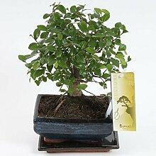 FloraStore - Bonsai Zelkova sphärische 15 cm