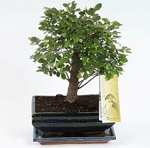 FloraStore - Bonsai Zelkova sphärische 20cm (1x),