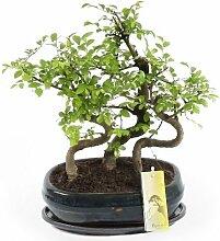 FloraStore - Bonsai Zelkova Wald 26 cm (Bonsai