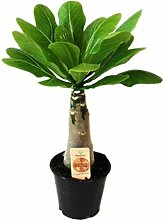 FloraStore - Brighamia Insignis (Hawaii-Palme)