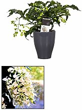 FloraStore - Clerodendrum prospero - dekorativer