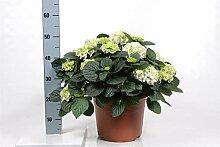 FloraStore - Hydrangea 20 Blütenknospen (Garten)