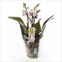 FloraStore - Phalaenopsis 3-5 Zweig Boquetto