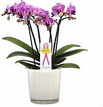 FloraStore - Phalaenopsis Boquetto Delight in Stil