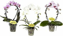 FloraStore - Phalaenopsis Spiegelwunder (rosa)