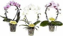 FloraStore - Phalaenopsis Spiegelwunder (weiß)