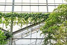 FloraStore - Philodendron Scandens - Hängetopf 31