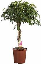 FloraStore - Schefflera Compacta geflochtener
