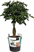FloraStore - Schefflera Compacta (Nora)