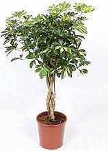 FloraStore - Schefflera Gold Capella schwere