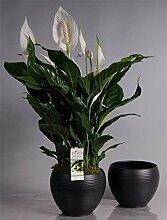 FloraStore - Spathiphyllum Süßer Silvio im
