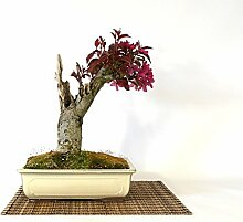 Flowering Crabapple bonsai tree (1)