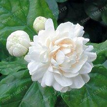 Förderung Schöne chinesische Jasmin Blumensamen