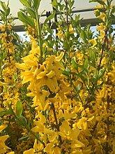 Forsythie Lynwood 60-100 cm Busch für