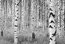 Fototapete - Birkenwald
