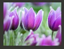 Fototapete Lila Tulpen im Frühling 154 cm x 200