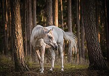 Fototapete Pferde Wald Pferd Friese Tiere