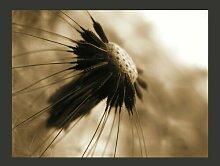 Fototapete Pusteblume - sepia 193 cm x 250 cm