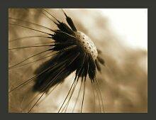 Fototapete Pusteblume - sepia 231 cm x 300 cm