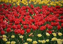 Fototapete Rote Gelbe Tulpen Tulpenmeer Blumen