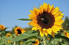 Fototapete selbstklebend Sonnenblume mit Biene -