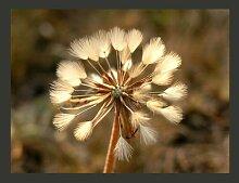 Fototapete Sommer pur: Pusteblume 154 cm x 200 cm